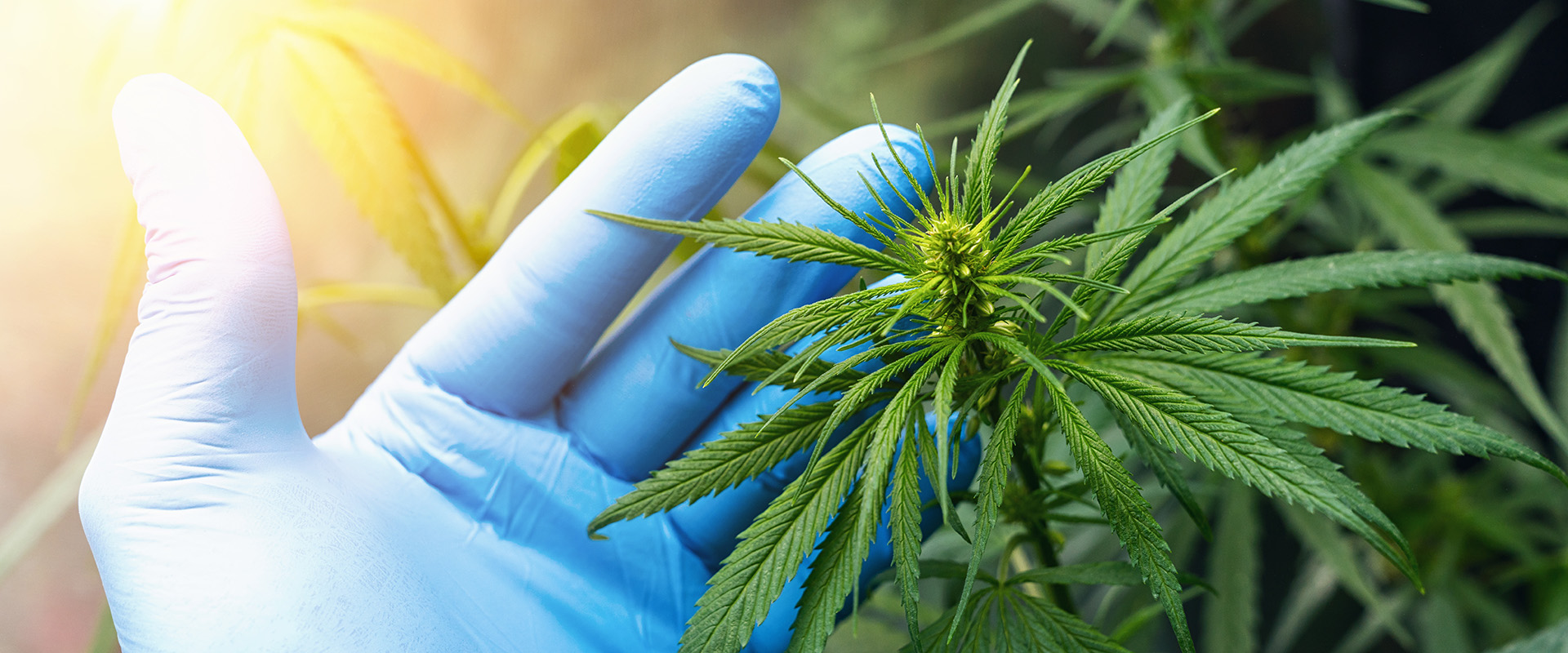 large number of cannabis flowers the hands of Medetsinsky employ